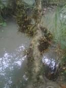 Tp. Hồ Chí Minh: Cây nhà lá vườn cần bán gấp 1 cây sung đẹp cổ ai có nhu cầu xin liên hệ CL1070908P6