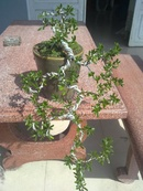 Tp. Hồ Chí Minh: Cần bán linh sam lá rí 02 năm tuổi, cây đã thành phẩm. CL1070908P6
