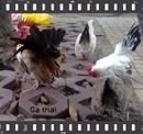 Tp. Hồ Chí Minh: Cần bán GÀ THÁI ,1 con trống chuối tuyết ,1 con trống gà bông, p.BHH.Q.Bình Tân CL1203541P10