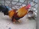 Tp. Hồ Chí Minh: Tre điều Tân Châu gà đẹp giá hữu nghị !!!!!!!!!!!!!!!!!! CL1203541P10