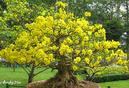 Tây Ninh: Cần bán gấp vườn mai, giá rẻ, cây lớn, nhỏ, mua bao nhiêu bán bấy nhiêu CL1035979