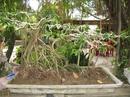 Tp. Hồ Chí Minh: Bán cây sanh om đa đep, rễ bam đá lâu năm. 1 cành trưc và một cành bay rất đẹp CL1035979