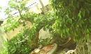 Tp. Hải Phòng: Cần tiền bán gấp cây LỘC VỪNG cổ ( GIÁNG LONG ) khoảng 100 năm tuổi giá 40 triệu CL1035979
