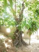 Phú Yên: Bán cây sanh, cổ kim, cây lộc vừng, cây sóp, giá phải chăng. CL1035979