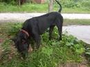 Tp. Hồ Chí Minh: Chó PQ đực 6 tháng, màu đen, xoáy mũi giáo, 3.500.000 đồng và 01 em PQ cái khác CL1098584P10