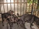Tp. Hồ Chí Minh: HCM-chó phú quốc CL1098584P10