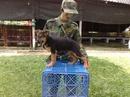 Tp. Hồ Chí Minh: Bán chó berger thuần chủng 70 ngày tuổi. CL1098584P10