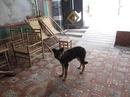 Tp. Hồ Chí Minh: Bán chó begiec 6 tháng tuổi, P.14, chợ cầu, Quang Trung, Gò Vấp CL1098584P10