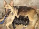 Tp. Hà Nội: Mình cần bán chó becgie cái nay vì nhà không có điều kiện nuôi và chăm sóc nữa CL1098584P10