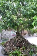 Thừa Thiên-Huế: can ban cay Sanh CL1035979