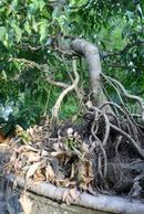 Thừa Thiên-Huế: ban cay Sanh dep CL1035979
