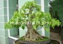 Tp. Hồ Chí Minh: Cây bồ đề bonsai rất đẹp. Cây tâm linh, và đặt nơi bàn thờ thiêng thì đẹp mỹ mãn CL1035979