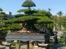 Tp. Hà Nội: Nhà mình có vài chục cây sanh cổ muốn giao lưu: 0916.428.333. LH: Lương Viết Mỹ CL1035979