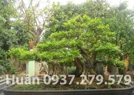 Nguyệt quới hay nguyệt quý tuyệt đẹp bonsai.