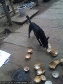 Tp. Hồ Chí Minh: Mình bán 2 cún đực PQ con chuẩn, lông sát, chân màng, tai đứng, móng đeo CL1098584P10