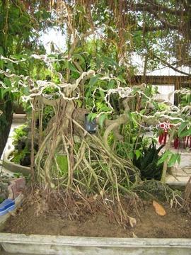 Bán cây sanh ôm đá lâu năm đẹp 1 trực, 1 bay đep.