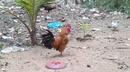 Tp. Hồ Chí Minh: Bán gà rừng, gà tre Thái Lan-Việt Nam CL1216024P9