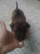 Tp. Hồ Chí Minh: Bán chó Phú Quốc Vện con CL1098584P10
