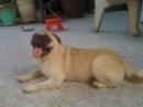 Tp. Hồ Chí Minh: Bán Pug con chuẩn đẹp, chó nhà nuoi đẻ, gần 2 tháng, an mạnh, xổ lãi roi.giỡn quyậy. CL1098584P10