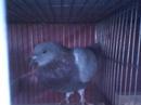 Bình Dương: ban chim bo cau giong CL1075778