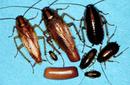 Tp. Hà Nội: Công ty chúng tôi chuyên về diệt các loại gián. Đặc biệt là gián Đức, vơi đội ngũ CAT246_270P11