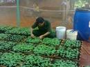 Tp. Hồ Chí Minh: Cung cấp độc quyền giống cây Hông CL1039374