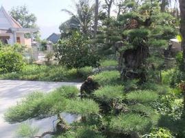 Đại lý cây xanh và cây thông