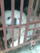 Tp. Hồ Chí Minh: Bán chó Nhật Thuần Chuẩn (100%) Giá Rè CL1098584P10