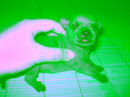 Tp. Hà Nội: Bán chó Fox thái đực xịn ( chó nhà đẻ) CL1061405P3