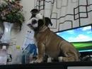 Tp. Hồ Chí Minh: Bán chó Bulldog (English 100%), Cậu Bull 4 tháng tuổi (biệt danh chiến binh Amaz CL1061405P3