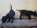 Tp. Hồ Chí Minh: Chó Phú Quốc con màu đen, 7 tuần, ăn khỏe, 2.000.000 đồng/con. ACE xem chó tại CL1061405P3