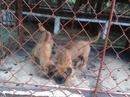 Tp. Hồ Chí Minh: Bán bầy Phú Quốc 1,5 tháng tuổi CL1061405P3