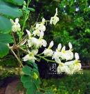 Tp. Hồ Chí Minh: Trà Hoa cây Chùm ngây CL1106082P10