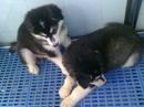 Tp. Hà Nội: Bán chó cảnh , bán chó alaska , bán chó thuần chủng CL1053111
