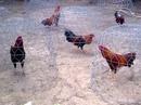 Tp. Hồ Chí Minh: Bán gà khét 2.9kg - giá rẻ 980K CL1216024P9
