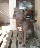 Tp. Hà Nội: Bán 1 chú chó PitBull Bully 13 tháng tuổi CL1053111