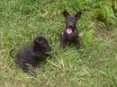 Tp. Hồ Chí Minh: Bầy chó Phú Quốc đen tuyền, 2 tháng tuổi, đã chích ngừa, 2.000.000 đồng/con CL1053111
