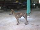 Tp. Hồ Chí Minh: Chuyên cung cấp các chó xoáy Phú Quốc, bố mẹ thuần chủng. CL1053111