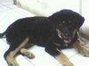 Tp. Hà Nội: Tôi có một đôi chó Bắc Hà xịn đẹp 1 vàng 1 đen, 1 đực 1 cái. 2,5 tháng tuổi CL1053111