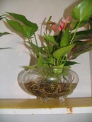 Tp. Hà Nội: cây cảnh, hoa cảnh trồng trong nước tại Hà Nội CL1098217