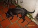 Tp. Hồ Chí Minh: Chó Phú Quốc đực, màu đen, xoáy đẹp, 9 tháng tuổi, đang đà sung sức CL1056880