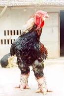 Tp. Hồ Chí Minh: Con giống gà đông tảo(đông cảo)gà hồ, gà móng, gà 9 cựa 0938868896 CL1216024P9