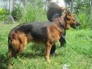 Tp. Hồ Chí Minh: Bán Chó Becgie đực thuần chủng (GSD), cực đẹp vô địch CL1056880