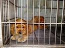 Tp. Hồ Chí Minh: Bán bầy cocker thuần chủng hai đực, hai cái, 2 tháng tuổi, đã tiêm phòng 7 bệnh CL1056880