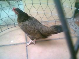 Bán gà tân châu con, đàn 9 con, gà nhà đổ ra, giá 50k con, bắt nguyên bầy 400k