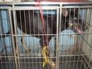 Tp. Hồ Chí Minh: Bán chó Becgie cái 10 thang tuoi CL1056880