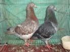 Bán bồ câu ra ràn, bồ câu giống Pháp, bồ câu Gà tại Tp.hcm
