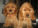 Tp. Hồ Chí Minh: bán chó coc ker tây ban nha CL1056880