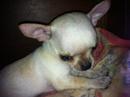 Tp. Hồ Chí Minh: Tôi có nuôi chú chó huu huu và sinh dươc 2 chú CL1056880