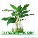 Tp. Hồ Chí Minh: cây kiểng trồng bằng nước giá rẻ nhất Việt Nam CL1064771